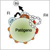 Alteraciones de la Inmunidad Natural; Genes del Complemento y Predisposición a la Enfermedad