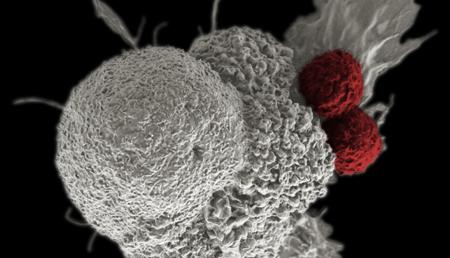 La gran capacidad proliferativa de las células cancerígenas puede ser su perdición