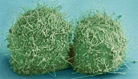 La división celular en tejidos epiteliales podría estar regulada por fuerzas mecánicas